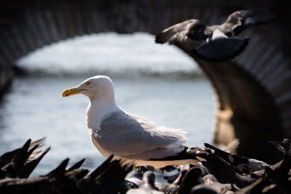 Un goéland argenté au milieu des pigeons, en train de se nourrir près des quais de Seine.