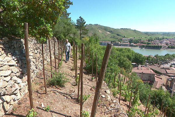 Le Jardin d'Eden à Tournon/Rhône : le coteau a retrouvé ses vignes.. juin 2021.
