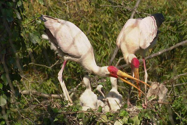 Une famille de Tantales Ibis au Bioparc de Doué-la-Fontaine