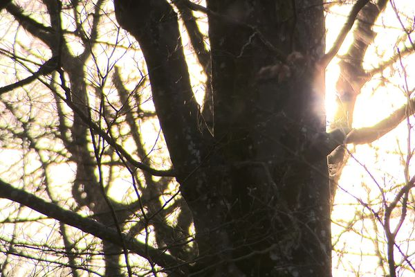 Les chênes de Haute-Saône, dans le soleil matinal. Ils constitueront en partie la nouvelle charpente de Notre-Dame
