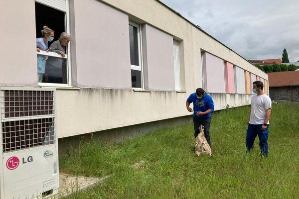 Les moutons qui viennent d'arriver à l'hôpital d'Aurillac distraient les patients.