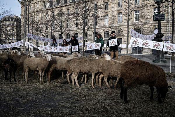 """Des brebis à Paris place de la République pour dénoncer """"la cohabitation impossible"""" avec le loup."""