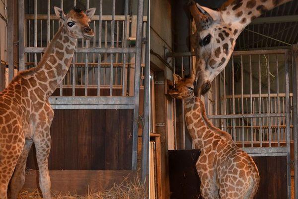La petite girafe est née le 15 juillet au parc animalier belge de Bellewaerde.