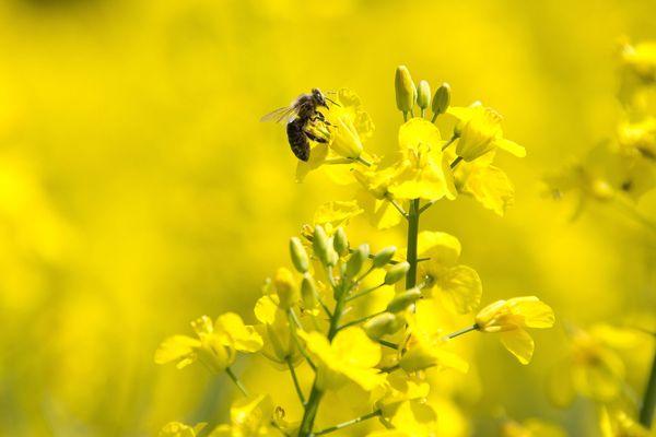 Une étude démontre une augmentation de rendement et de marge brute (en moyenne de 15 % (119€/ha) et allant jusqu'à 40 % (289€/ha)) dans les parcelles avec une abondance de pollinisateurs maximale par rapport aux parcelles pratiquement dépourvues de pollinisateurs.