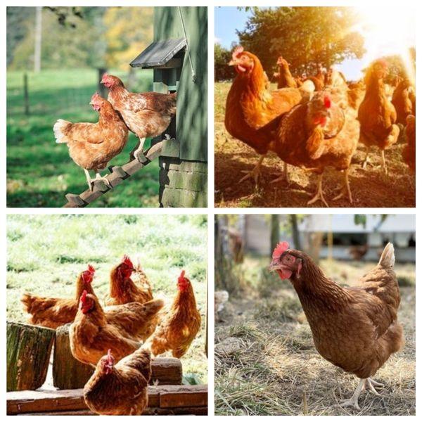 Les poules proposées sont la plupart du temps de race Lohmann Brown. Des super pondeuses à plumage roux tacheté de blanc.