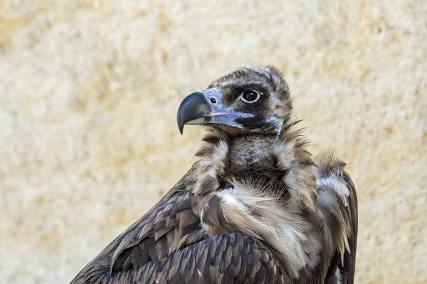 """Un vautour """"moine"""" s'est échappé du parc de Courzieu. Si vous l'apercevez, prévenez rapidement le parc"""