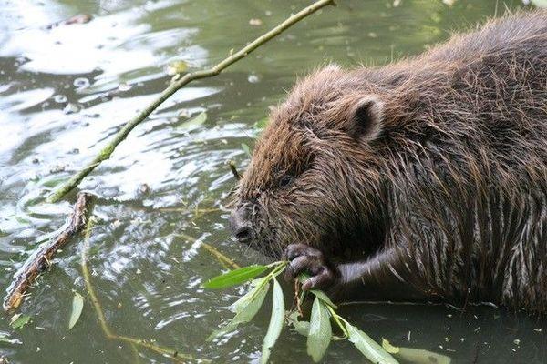 Le castor est une espèce protégée