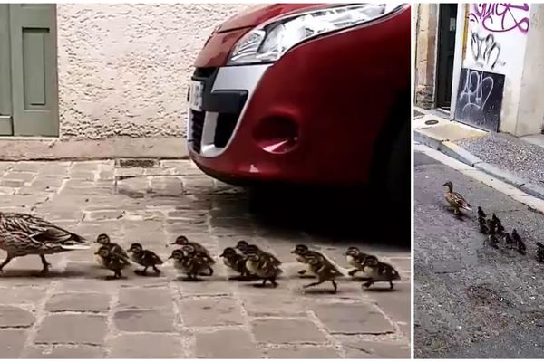La cane a promené ses petits dans les rues de Sedan le dilanche 7 juin.