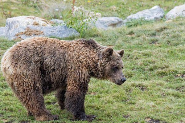 Jusqu'ici, les éleveurs devaient consulter le site internet de la DREAL, pour trouver la dernière position connue de l'ours.