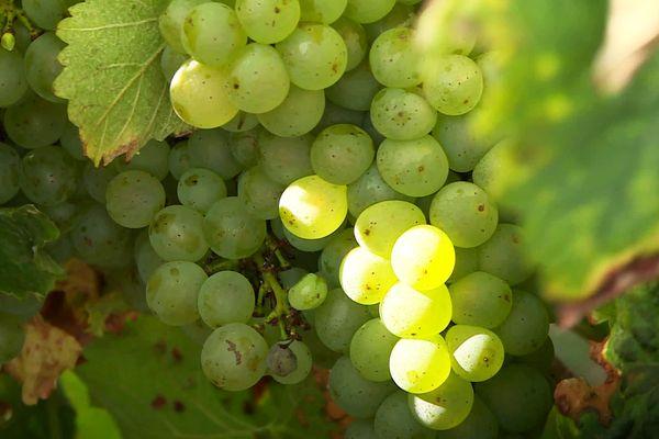 Des grappes de raisin de qualité très inégales selon les vignobles et les aléas climatiques cette année