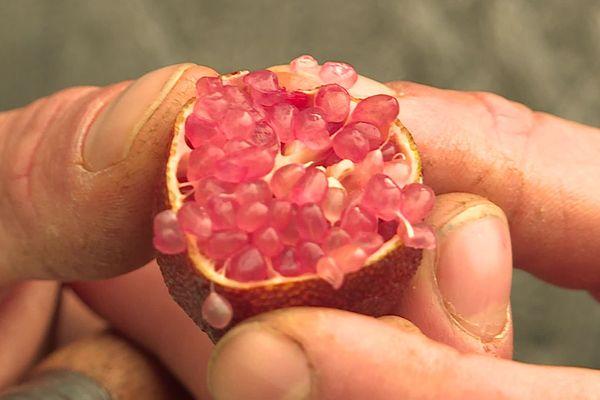 """Le """"citron caviar"""" pousse dans un buisson épineux des forêts humides de l'est de l'Australie."""