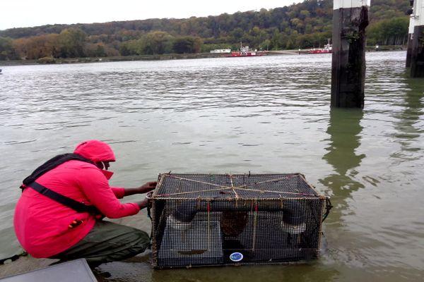 Les crevettes ont séjourné deux semaines dans des casiers immergés dans les eaux de la Seine, au niveau de Petit-Couronne (Seine-Maritime).