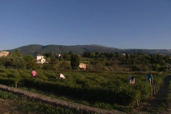 Une plantation de Grasse.