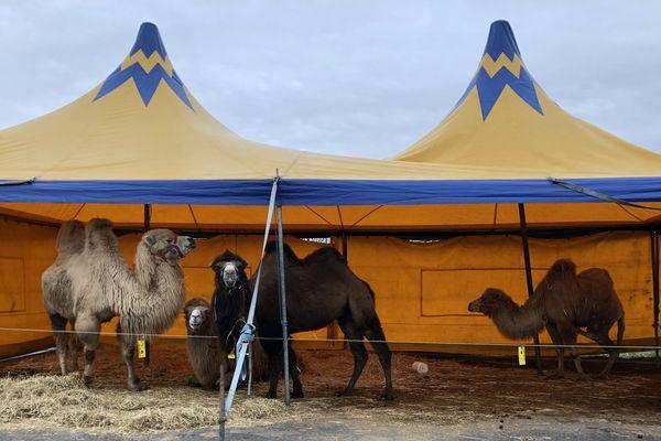Les quatre chameaux du cirque Rome vivent sous ce chapiteau, installé sur le parking d'une grande surface à Châlons-en-Champagne