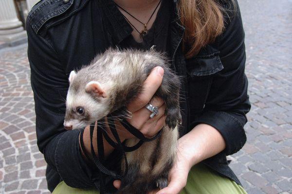 """""""Les furets ne sont plus à la mode"""" selon un responsable d'animalerie"""