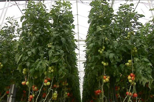 Production de tomates sous serres / Illustration