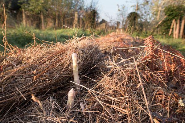 Une forme de butte pour la culture des asperges, la seule dans le jardin de Christophe Gatineau.