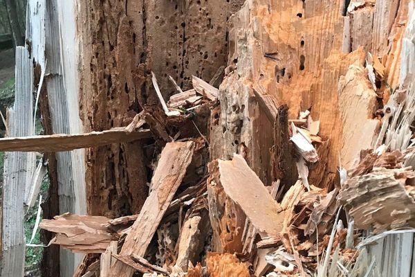 Les scolytes sont des insectes responsables de la mort de milliers d'arbres en Europe. Ils font des dégâts considérable dans la Meuse.