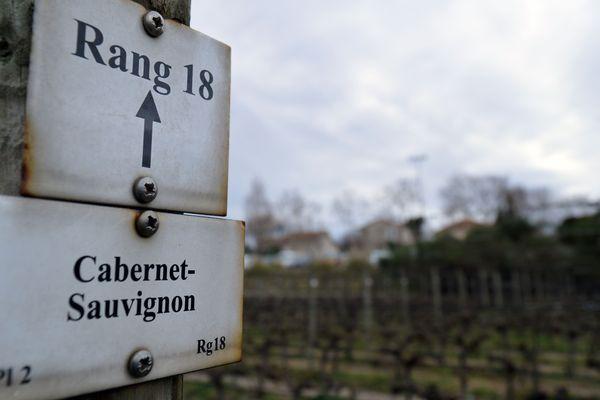 Cabernet Sauvignon dans les vignes du vignoble expérimental et pédagogique de SupaAgro (Institut national d'études supérieures agronomiques) de Montpellier