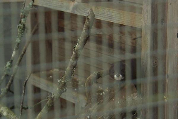 Covid-19 : des visons sous haute-surveillance à Zoodyssée