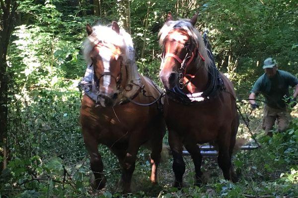 En pleine forêt, ces chevaux grimpent pour évacuer des poteaux électriques en bois et en béton.