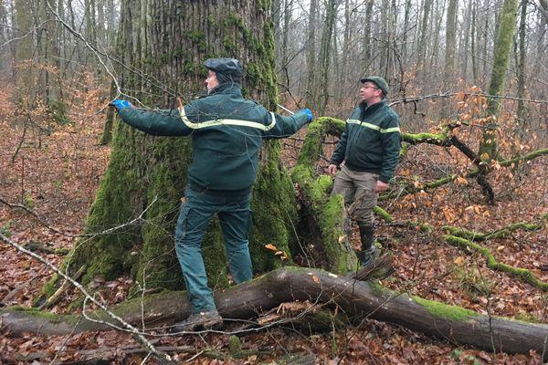 2 agents de l'ONF mesurent un chêne centenaire.