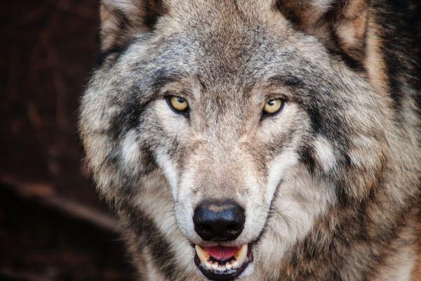 La progression du loup en France est constante depuis quelques années