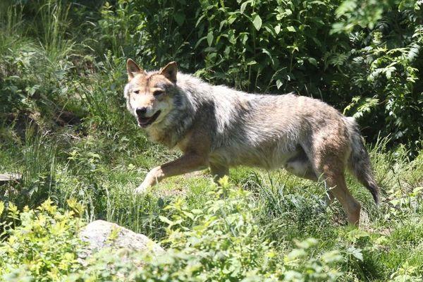 Loup gris: un individu aurait été observé le 8 septembre au bord du lac de Guerlédan.