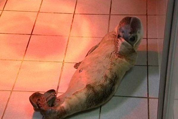 Paprika est surnommée la loutre par les soigneurs, car elle se met souvent sur le dos, une position rare chez les phoques.