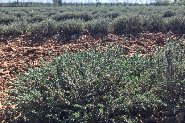 Plus de 60 hectares de thym ont été plantés en Charente-Maritime grâce à Biolopam.
