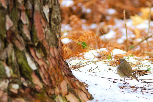 Dans la nature, le rouge-gorge vit généralement entre 1 et 3 ans. Leurs dures conditions de vie font que beaucoup ne passent même pas leur premier hiver.