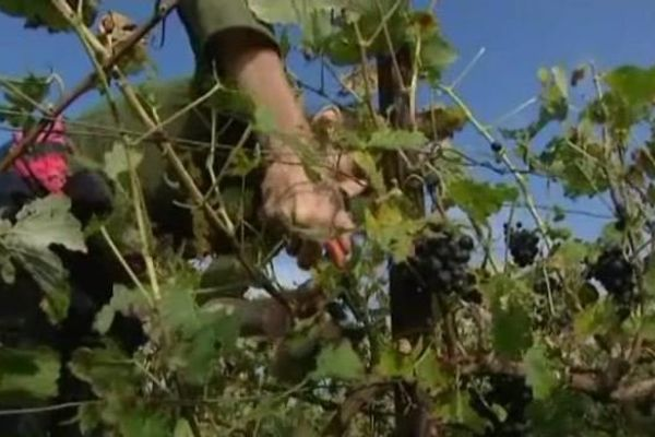 Plus belle la vigne ! 9 000 saisonniers devraient prêter main forte dans l'Aisne.