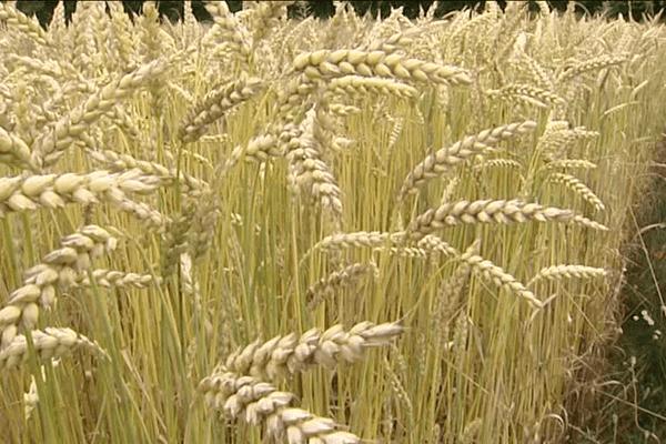 Les variétés de blés bios sélectionnées par l'Inra de Rennes