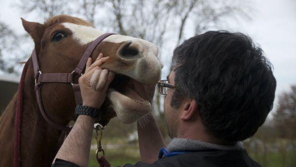 La qualité de mastication a des conséquences sur la santé du cheval