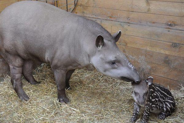 Le premier bébé tapir né à Planète sauvage, janvier 2019