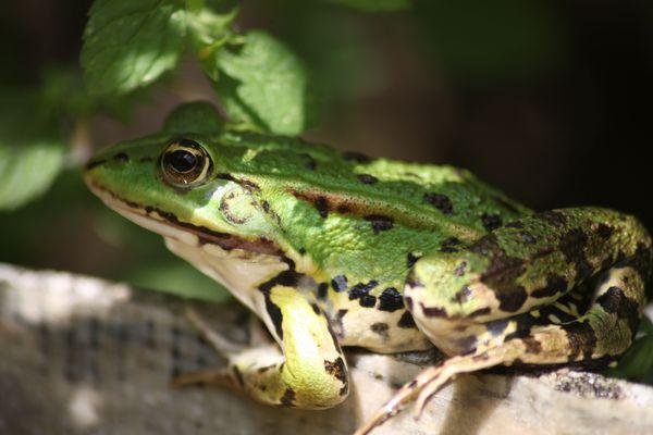Une grenouille verte au bord d'une mare. Photo d'illustration.