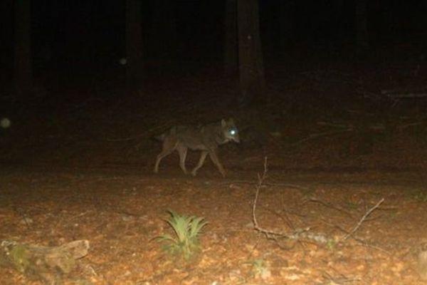 Loup photographié dans le Grand Est