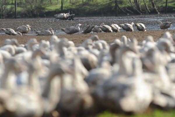 12 000 canards confinés en Vendée en raison d'un soupçon de grippe aviaire