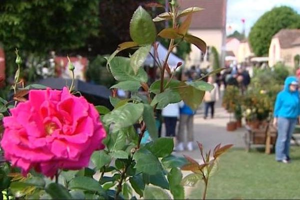 """Le rosier """"Charme de Bézouotte"""" créé spécialement pour le 20ème anniversaire de la foire aux plantes rares"""