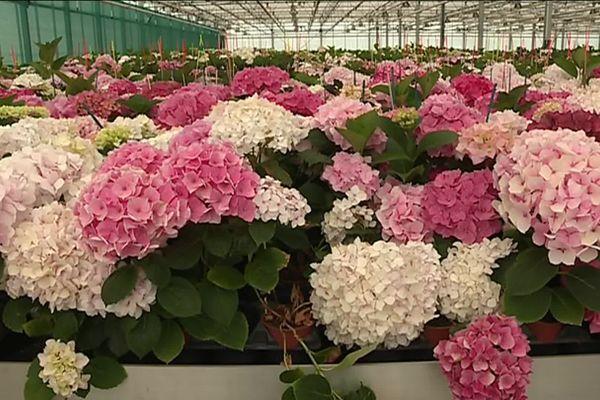 Une centaine de nouvelles variétés d'hortensias sélectionnées chaque année