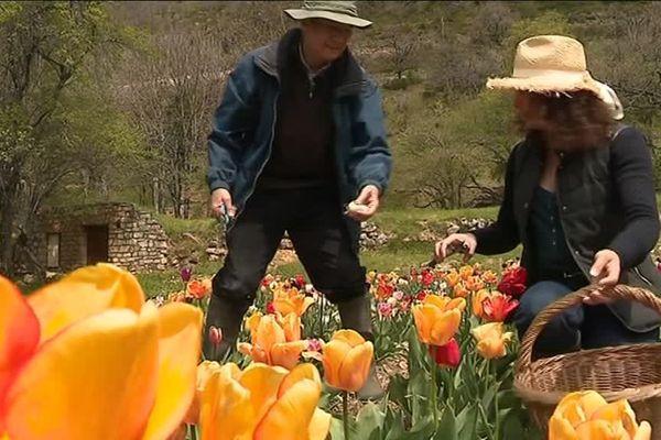 L'avocat François Roux dans son champ de tulipes à Vébron (Lozère), avec sa femme Evelyne Roux-Giroux