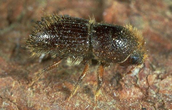 Les scolytes sont de petits insectes xylophages de la famille des coléoptères. Ils mesurent de 2 à 5 mm de long.