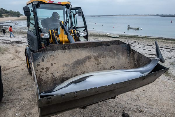 Les membres du centre de recherche sur les mammifères marins PELAGIS ramassent un dauphin mort sur la plage de La Pattache. Les-portes-en-Re, le 07 01 2021