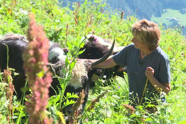 Un couple d'éleveurs fait paître des yaks en alpage en Haute-Savoie.