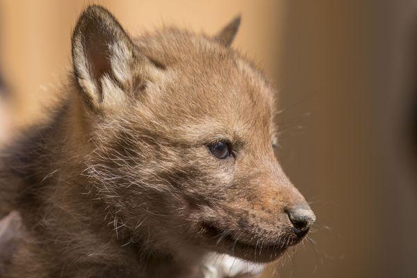 Six bébés coyotes sont désormais identifiables grâce à une puce, au Parc Animalier de Sainte-Croix, en Moselle.