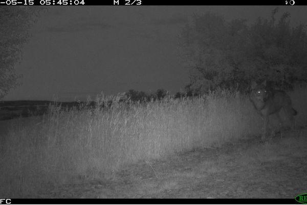 Les experts de l'Office français de la biodiversité ont confirmé la présence d'un loup dans le Clusinois.