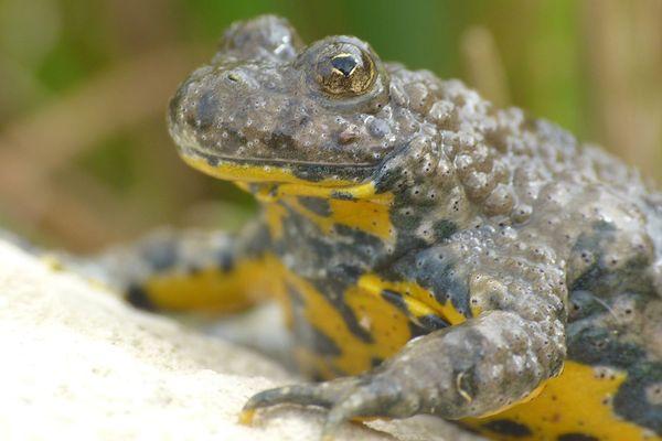 Le crapaud sonneur à ventre jaune, présent en Auvergne, est une espèce rare et menacée au niveau européen.