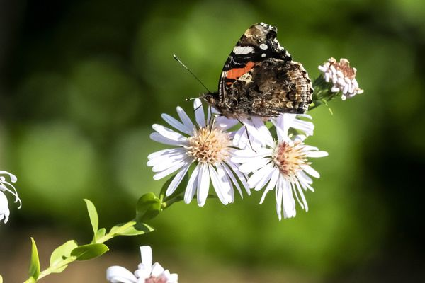 Un papillon Vulcain (Vanessa Atalanta), image d'illustration