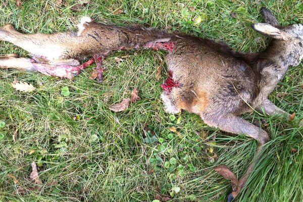 Le chevreuil attaqué par un prédateur à Besançon (Doubs)