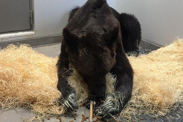 L'ours Mischa a été recueilli au zoo refuge de la Tanière. Il souffre de plaies aux pattes et de problèmes respiratoires.